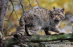 Шума мачка: начинот на живот на Европската дива мачка