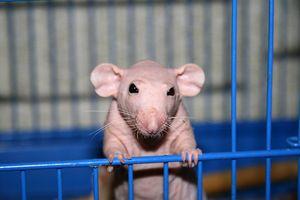 Ќелав стаорец Сфинкс: тајните на чување на милениче