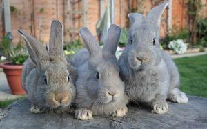 Миксосоза кај зајаци: симптоми и третман дома