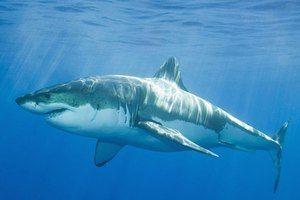 Риба ајкула