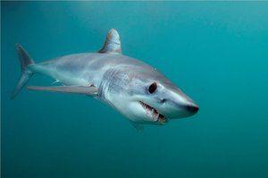 Брза предаторска ајкула-мако