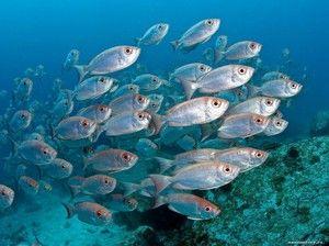 Морски видови на риба: опис и карактеристики