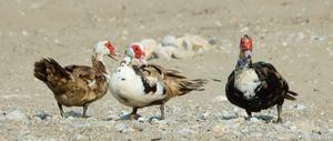 Морска патка: Карактеристики на одгледување Indotka дома
