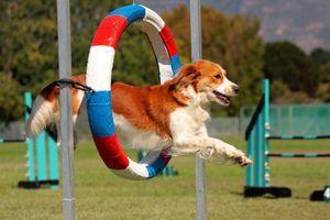 Олимпијада за кучиња. Оваа агилност