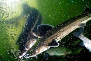 Опис на риба Стерлет. Што се хранат и како да се одгледуваат?