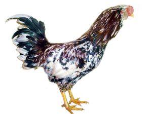 Опис на надворешните карактеристики на расата на Орлов на кокошки