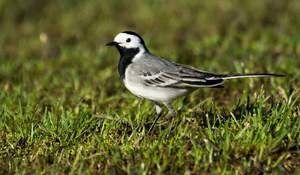 Карактеристики на вгнезден живот на миграторните птици од бело шеталиште