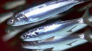 Карактеристики: хамса риба (Црно Море)