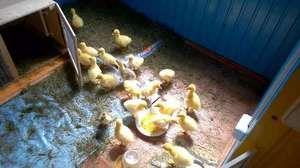 Карактеристики на растечки goslings во домот од првите денови