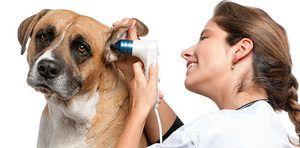 Отитис кај куче отколку за лекување: алергиски отитис