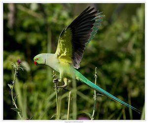 Папагатот на папагалот во лет