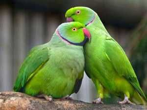 Папагали со ѓердани
