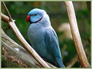 Сино запалени папагали