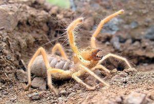 Пајаци од фаланга