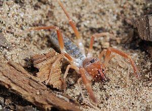 Она што се нарекува пајакова фаланга