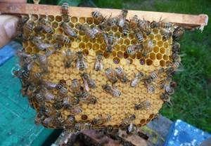 Особености на расата пчела