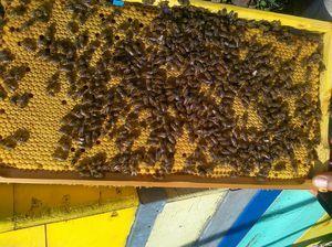 Раса на пчели