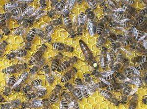 Како да пчела
