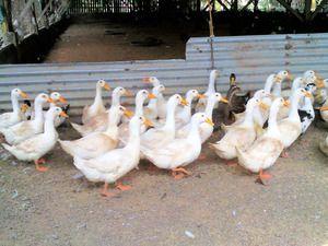 Пекиншка патка: одгледување дома