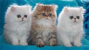 Персиски мачки и мачки: опис на расата и правила за чување