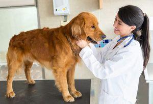 Pyometra кај кучиња симптоми и третман