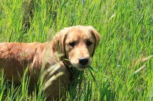 Зошто кучето сака да јаде трева за време на прошетка?