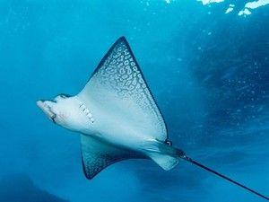 Подводни летови на морските зраци. Неверојатни рамни риби