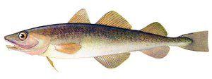 Корисни гастрономски својства на далечната источна риба навига
