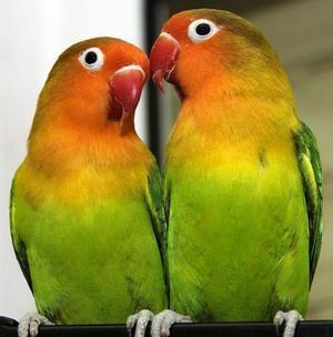 Папагалите се неразделни - грижа и содржина