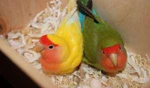 На дното на кафезот за папагали