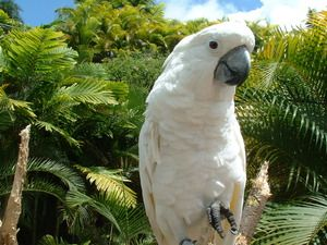 Папагалот Cockatoo: Прекрасна птица, придружник и пријател