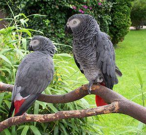 Папагалот е алчен или африкански сив папагал