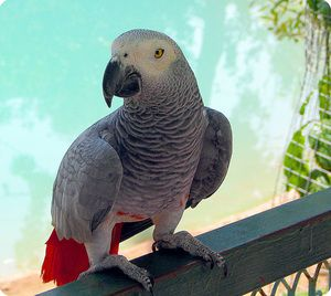 Како изгледа папагалот zhako