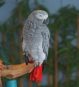 Опис на надворешноста на папагалот е жешко