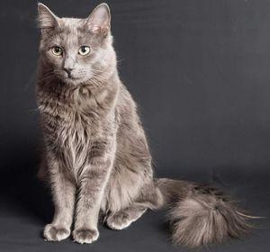 Раса на мачки nibelung и нејзините карактеристики
