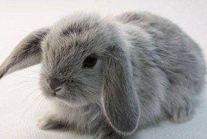 Раса на зајаци Крзниот зајак на зајакот
