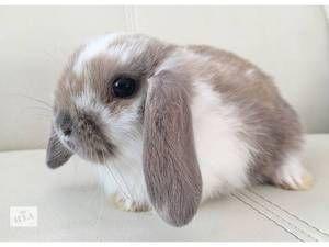 Опис и фотографии на зајаци Крзно јастог