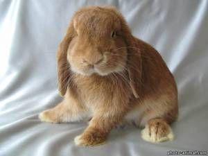 Зајакот раскопан: карактеристика на расата