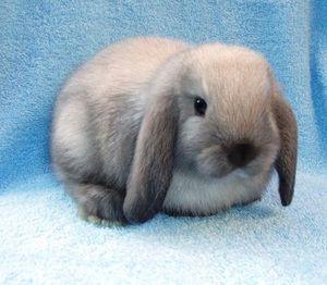 Условите за чување на џуџето заглави зајак