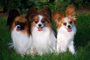 Раса на кучиња од папилон: континентално што спаниел