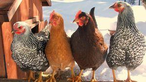Видови кокошки: најдобри слоеви за фарма