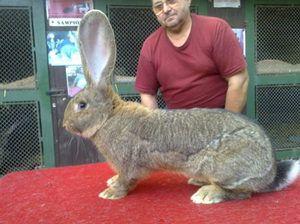 Огромни зајаци
