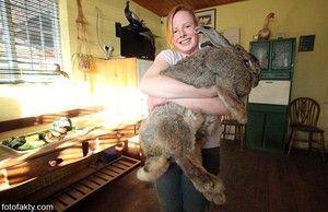 Кои раси на зајаци се подобри за одгледување?