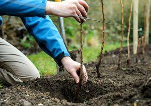 Садење на овошни дрвја во пролет и есен