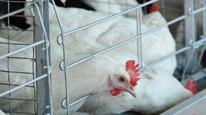 Симптоми на болеста во Њукасл во кокошка