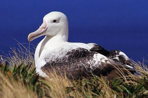 Птица на албатросот. Кои се лутачките албатроси?