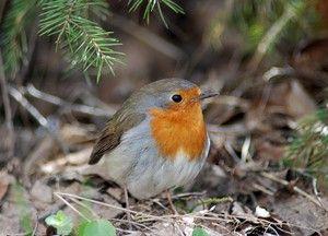 Птица Робин: изглед, карактеристики и исхрана на