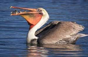 Птица пеликан: начин на живот, живеалиште, каде што рибите се наредени
