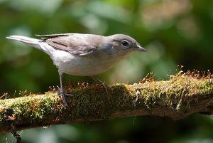 Метла за птици: мал солист на шумскиот театар