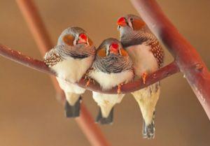 Птици Амадина: зебра, ориз, јапонски и други